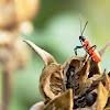 Dysdercus decussatus (叉帶棉紅蝽)