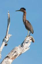 Photo: Green Heron (Mangrovereiher); Rio Lagartos, YUC