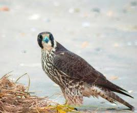 Photo: This Peregrine Falcon was photographed November 2012 at Bird Shoal by volunteer Robin Newton.