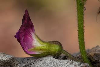 Photo: A common pink flower in Cangandala Uma flor comum na Cangandala