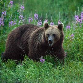 Bear by Daniel Björkskog - Animals Other ( kuusamo, bear, brown bear, finland, wildlife )