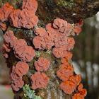 Colorful Crust Fungus