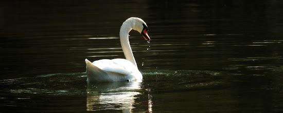 Photo: Cygne (Alsace)