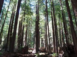 Photo: Redwoods @ Avenue of Giants