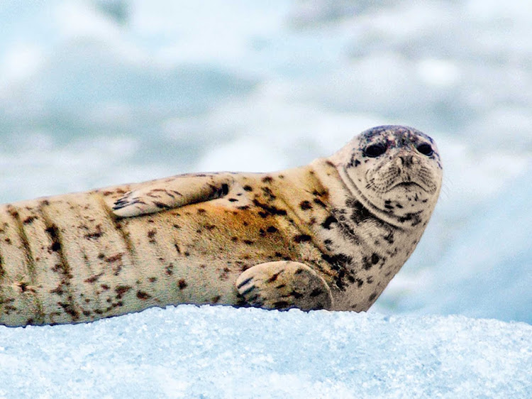 A harbor seal in Alaska. Cruise on Coral Princess next year and save $402 per person on the Beverage Package.