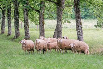 Photo: Sheep at Villa Aureli