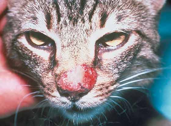 Nasal dermatitis in a 5-year-old castrated DSH with mosquito-bite hypersensitivity