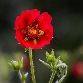 The red one by Dirk Rosin - Flowers Flowers in the Wild ( macro, blumen und pflanzen, natur, makro )