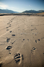 Photo: Tracks of mother grizzly bear and her three cubs in the mud flats of Alsek Lake in Glacier Bay National Park. Coastal grizzly bears rely on salmon to stock up on fats and nutirents to make it through the cold winters.