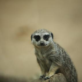 The curious meerkat by Sean Walker - Animals Other Mammals ( mammals, animals, mongoose, wildlife, meerkat )