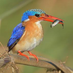 Malachite Kingfisher by Neal Cooper - Animals Birds ( malachite kingfisher )