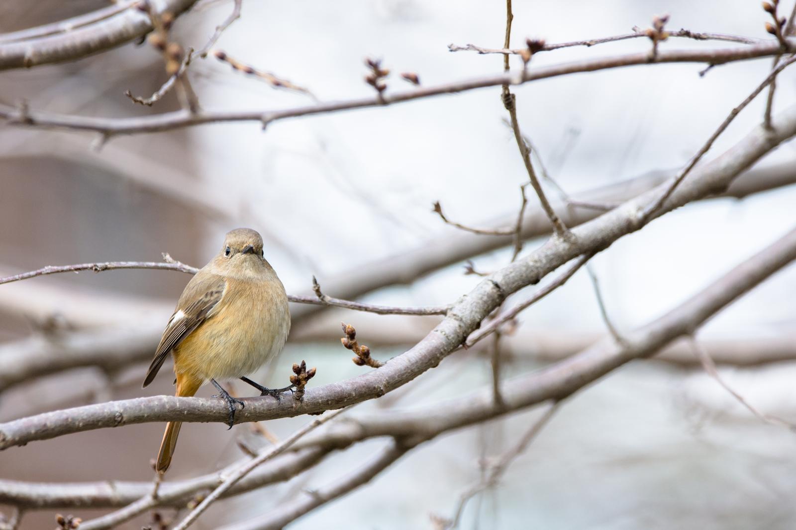 Photo: 「春の声を感じて」 / Feel the voice of the spring.  木々の囁き 風の運ぶ伝言 もう少しでその時が訪れる 耳を傾け春の声を感じる  Daurian redstart. (ジョウビタキ)  Nikon D7200 SIGMA 150-600mm F5-6.3 DG OS HSM Contemporary  #birdphotography #birds #kawaii #小鳥 #nikon #sigma #小鳥グラファー  ( http://takafumiooshio.com/archives/1248 )