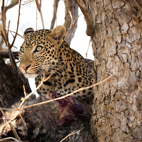 Leopard by VAM Photography - Animals Lions, Tigers & Big Cats ( tanzania, leopard, africa, mammal, nature, animal,  )