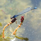 Small Red-eyed Dramselfly