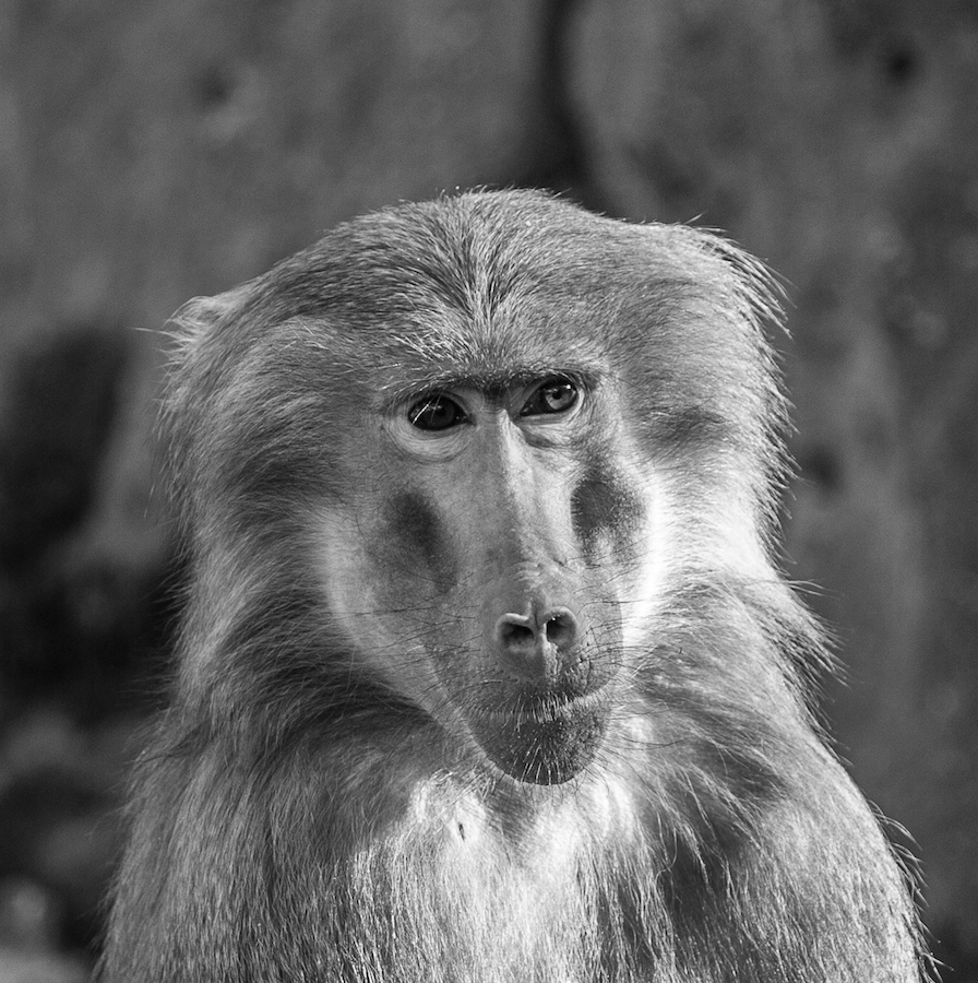 Papio hamadryas bw by Waldemar Dorhoi - Black & White Animals ( monkey,  )