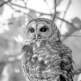 Barred Owl by Debbie Quick - Black & White Animals ( barred owl, raptor, debbie quick, owl, nature, debs creative images, new york, birds of prey, outdoors, bird, animal, millbrook, black and white, wild, hudson valley, wildlife )