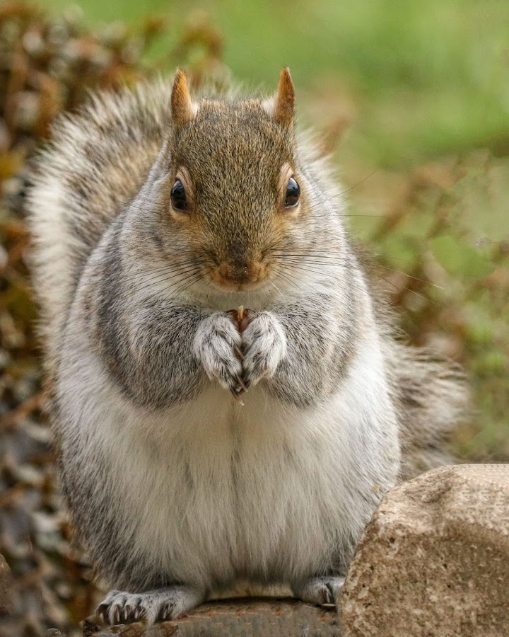 by Kathy Jean - Animals Other Mammals ( standing squirrel, squirrel, mammal, grey squirrel, animal )
