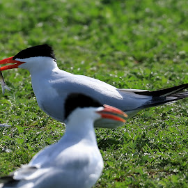 No Escape by Big Pikey - Animals Fish ( small fish, alewife and tern, alewife, tern with fish, fish eating bird, no catch and release,  )