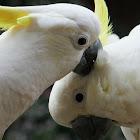 Sulphur-crested Cockatoo (crackle)