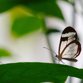 Greta Oto by Bhavin Degadwala - Animals Insects & Spiders ( butterfly, nature, beautiful, transparent, glasswinged )