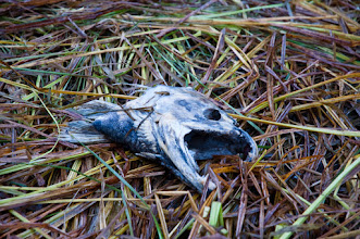 Photo: Signs of the salmon-eating carnage are everywhere