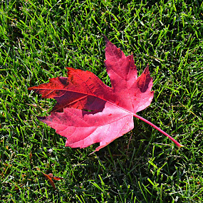 Autumn is a second spring when every leaf is a flower by Sanjukta Dasgupta - Nature Up Close Leaves & Grasses ( #maple, #autumn, #fallcolours, #fall )