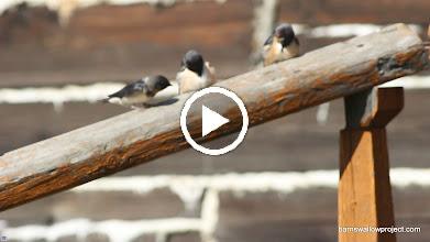 Video: Fledgling swallows between Chita and Khabarovsk