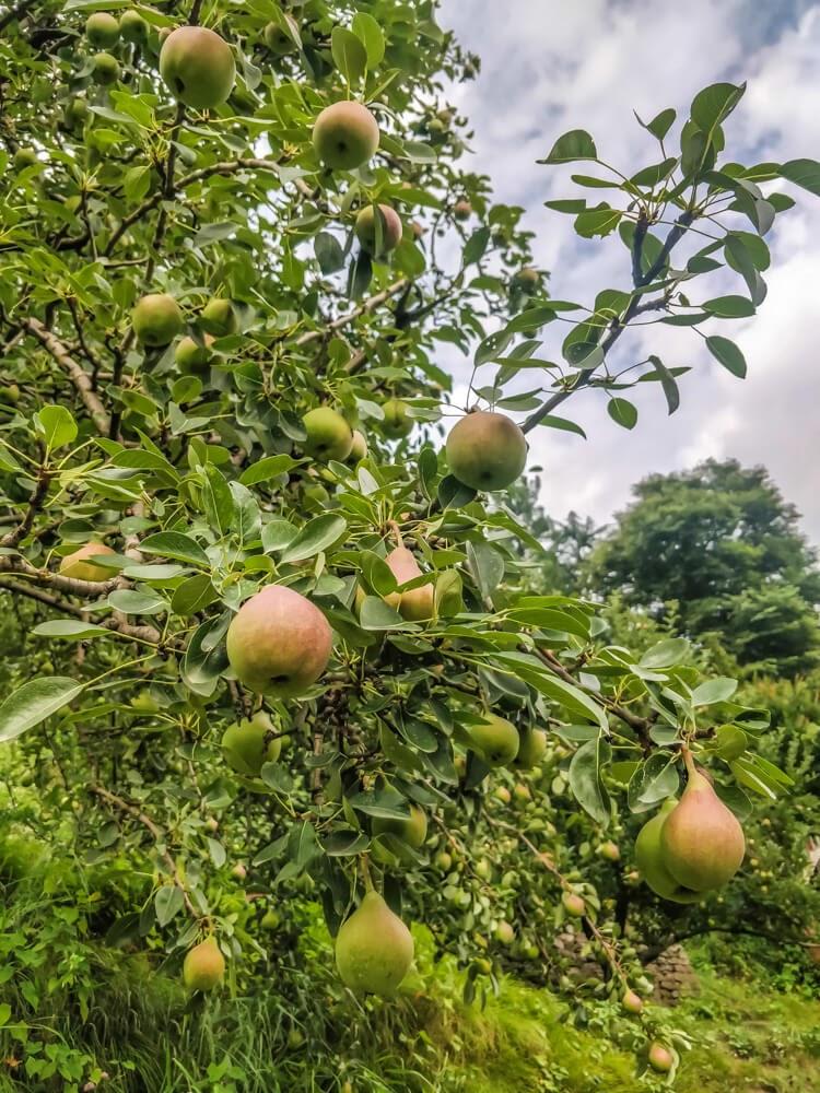 pear+fields+himachal+naggar+manali++shimla+himachal