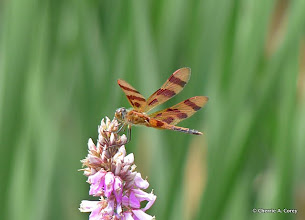 Photo: Halloween pennant dragonfly (Celithemis eponina)