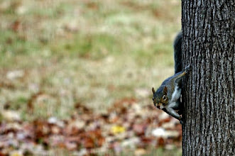 Photo: North American Grey Squirrel looking at camera from side of tree