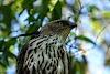Sri. Lanka Wilpattu National Park . Crested Hawk Eagle