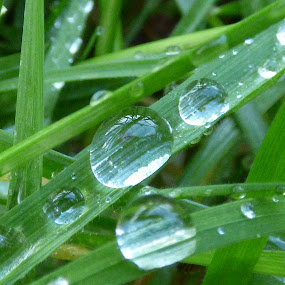 morning dew on grass by Nick Parker - Nature Up Close Leaves & Grasses ( grass, dew, morning,  )