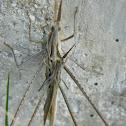 Mating Mediterranean slant-faced grasshoppers