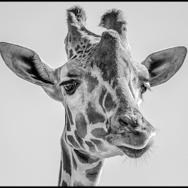 Giraffe by Dave Lipchen - Black & White Animals ( giraffe )