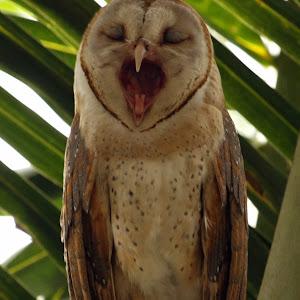Yawning Owl 1.jpg