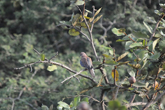 Photo: Laughing dove