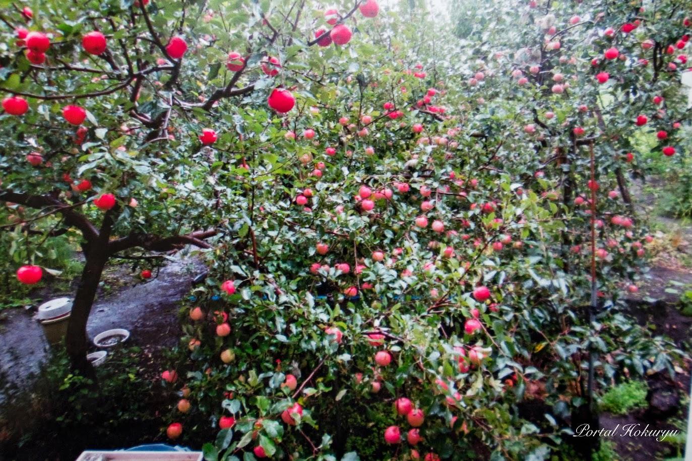 無農薬栽培のりんごの実