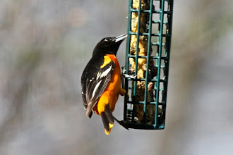 Photo: Baltimore oriole
