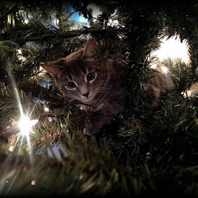 Christmas Fred by Todd Reynolds - Public Holidays Christmas ( cat, kitten, tree, christmas, cute,  )