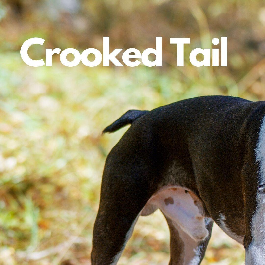 A Boston Terrier with a crooked tails. A dog with a crooked tail.