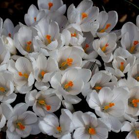 Crocus by Andrew Moore - Flowers Flowers in the Wild (  )