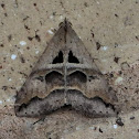Cellar melipotis moth