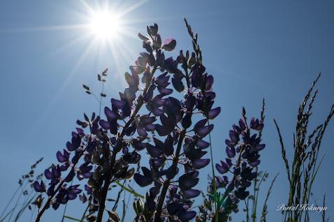 寄り添う優美な花「昇り藤・ルピナス」
