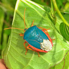 Turquoise Shield Bug