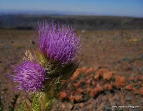 Photo: Steens Mountain thistle