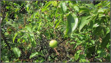 Photo: Corcodusi (Prunus cerasifera)  - de pe Calea Victoriei, 2017.06.21