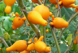 Photo: Nipple Fruit, Foster Botanic Gardens