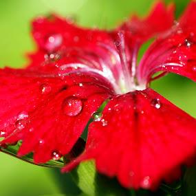 Raindrops by Roxana McRoberts - Nature Up Close Flowers - 2011-2013