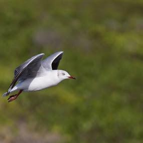 by Dawie Nolte - Animals Birds ( bird, flying, wings, blue eye, ocean birds )