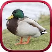 Real Duck Simulator